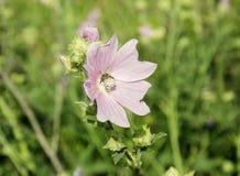 La abeja recoge el néctar en una flor rosada Fotos de archivo libres de regalías