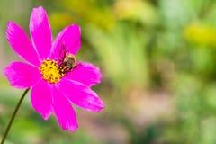 La abeja recoge el néctar en una flor rosada Foto de archivo libre de regalías