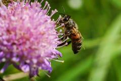 La abeja recoge el néctar en una flor, trébol Imágenes de archivo libres de regalías