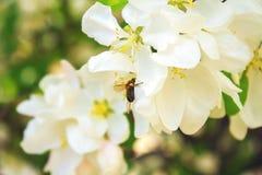 La abeja recoge el néctar en una rama de árbol Imagen de archivo libre de regalías