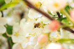 La abeja recoge el néctar en una rama de árbol blanca Fotografía de archivo