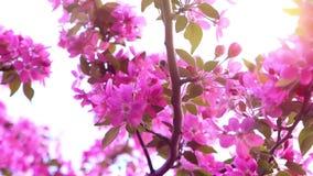 La abeja recoge el néctar en una rama rosada floreciente, primer, cámara lenta almacen de video