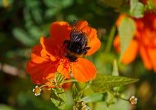 La abeja recoge el néctar que se sienta en una maravilla anaranjada Imagen de archivo libre de regalías