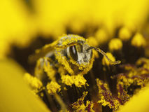 La abeja recoge el néctar y el polen Fotos de archivo