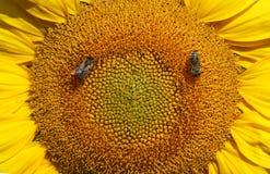 La abeja recoge el néctar y el polen Imagen de archivo libre de regalías