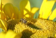 La abeja recoge el néctar y el polen Imágenes de archivo libres de regalías