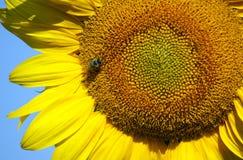 La abeja recoge el néctar y el polen Imagenes de archivo