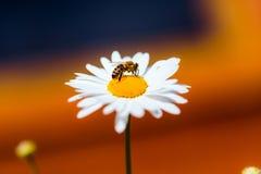 La abeja recoge el néctar y el polen de manzanilla Fotografía de archivo