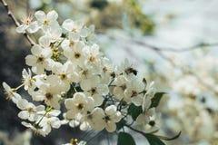 La abeja recoge el néctar y el polen en cerezo floreciente Imágenes de archivo libres de regalías