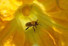 La abeja recoge el néctar y el polen en la flor de la calabaza Fotos de archivo libres de regalías