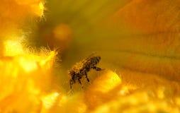 La abeja recoge el néctar y el polen en la flor de la calabaza Foto de archivo libre de regalías