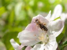 La abeja recoge el néctar y el polen en la floración blanca de la cereza con los haces verdes de la hoja y del sol en el fondo Te Fotos de archivo libres de regalías