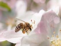 La abeja recoge el néctar y el polen en la floración blanca de la cereza con los haces verdes de la hoja y del sol en el fondo Te Imágenes de archivo libres de regalías