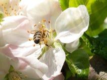 La abeja recoge el néctar y el polen en la floración blanca de la cereza con los haces verdes de la hoja y del sol en el fondo Te Imagen de archivo libre de regalías