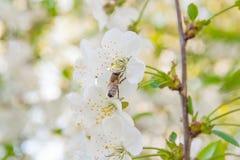 La abeja recoge el néctar y el polen en un branc floreciente del cerezo Foto de archivo libre de regalías