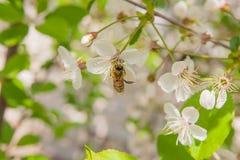 La abeja recoge el néctar y el polen en un branc floreciente del cerezo Imagen de archivo libre de regalías