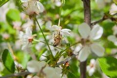 La abeja recoge el néctar y el polen en un branc floreciente del cerezo Fotografía de archivo