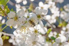 La abeja recoge el néctar y el polen en un branc floreciente del cerezo Fotos de archivo libres de regalías