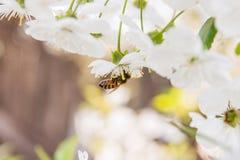 La abeja recoge el néctar y el polen en un branc floreciente del cerezo Imagenes de archivo
