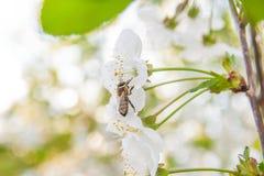 La abeja recoge el néctar y el polen en un branc floreciente del cerezo Foto de archivo