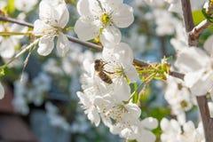 La abeja recoge el néctar y el polen en un branc floreciente del cerezo Imágenes de archivo libres de regalías