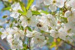 La abeja recoge el néctar y el polen en un branc floreciente del cerezo Fotografía de archivo libre de regalías