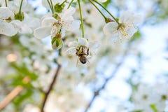 La abeja recoge el néctar y el polen en un branc floreciente del cerezo Fotos de archivo