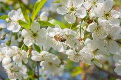 La abeja recoge el néctar y el polen en un branc floreciente del cerezo Imagen de archivo