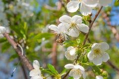 La abeja recoge el néctar y el polen en un cerezo floreciente Imagenes de archivo