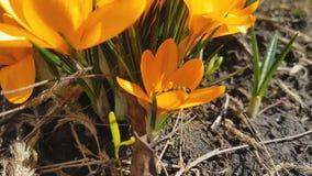 La abeja recoge el néctar y vuela Azafranes florecientes amarillas en brisa ligera metrajes