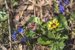 La abeja recoge el néctar y vuela en la flor floreciente amarilla de la primavera Imagenes de archivo