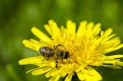 La abeja recoge el n?ctar amarillo en las piernas del diente de le?n amarillo foto de archivo