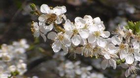la abeja recoge el n?ctar en las flores de la manzana floreciente blanca Anthophila, mellifera de los Apis metrajes