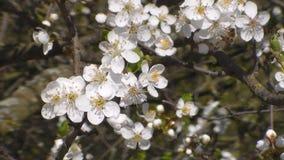 la abeja recoge el n?ctar en las flores de la manzana floreciente blanca Anthophila, mellifera de los Apis almacen de metraje de vídeo