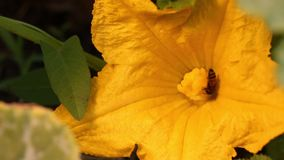 La abeja recoge el polen almacen de metraje de vídeo