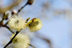 La abeja recoge el polen de amentos amarillos Foto de archivo libre de regalías