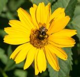 La abeja recoge el polen de asteres del perennial de las flores del amarillo Imagen de archivo
