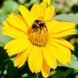 La abeja recoge el polen de asteres del perennial de las flores del amarillo Foto de archivo libre de regalías