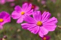 La abeja recoge el polen de asteres perennes de las flores del rosa en el GA Imágenes de archivo libres de regalías