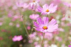 La abeja recoge el polen de asteres perennes de las flores del rosa en el GA Imagen de archivo libre de regalías
