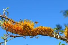 La abeja recoge el polen de banksia floreciente Fotografía de archivo libre de regalías
