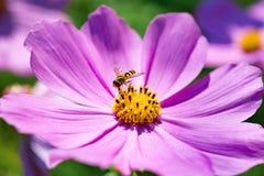 La abeja recoge el polen de bipinnatus rosado del cosmos de la flor Cierre-u Fotos de archivo