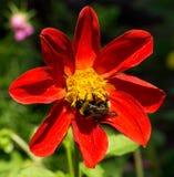 La abeja recoge el polen de clemátide roja de la flor Imagenes de archivo