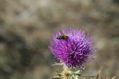 La abeja recoge el polen de la flor del cardo Foto macra Foto de archivo