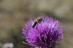 La abeja recoge el polen de la flor del cardo Foto macra Imagen de archivo libre de regalías