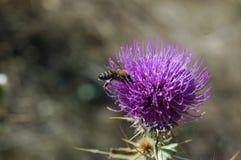 La abeja recoge el polen de la flor del cardo Foto macra Fotos de archivo libres de regalías