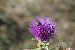 La abeja recoge el polen de la flor del cardo Foto macra Fotografía de archivo