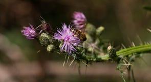 La abeja recoge el polen de la flor púrpura Imágenes de archivo libres de regalías