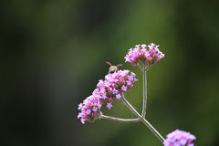 La abeja recoge el polen de la flor rosada Imagen de archivo