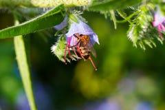 La abeja recoge el polen de las campanillas púrpuras después de lluvia Fotografía de archivo libre de regalías